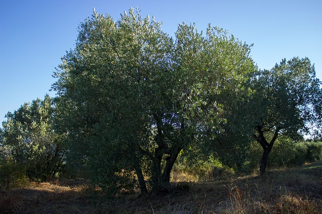 El Día Internacional del Olivo será el 26 de Noviembre