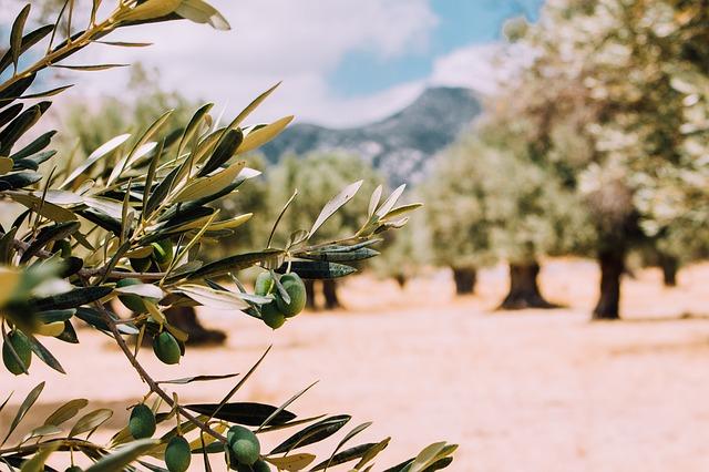 En Jaén cae el precio del olivar de secano