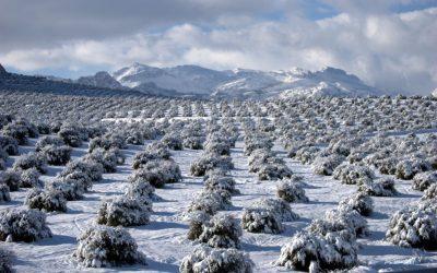 ¿Cómo ha afectado Filomena a nuestro olivar?